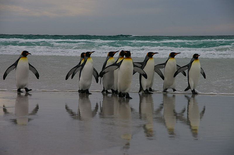 File:Falkland Islands Penguins 01.jpg