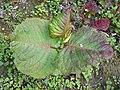 Fallopia sachalinensis 2016-04-22 8553.jpg