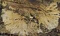 Fan mycelium. Many do this. Radiating yellow-grey mycelium. Llanwonno. 1971 (25385554499).jpg