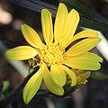 Farfugium japonicum (flower s2).jpg