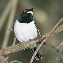 Female Black-throated Wattle-eye (Platysteira peltata) front view.jpg