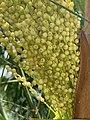 Female flowers of inflorescence of Phoenix roebelenii.jpg