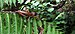 Female tree weta on tree fern.jpg