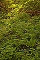 Ferns - geograph.org.uk - 869894.jpg