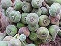 Ficus auriculata112.jpg