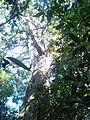 Figueira (Ficus cestrifolia) gigante (circunferência de 16,8 m e altura de 22 m) no Morro da Linh Ernesto Alves, Imigrante-RS. - panoramio.jpg