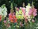 File-Snapdragons