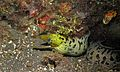 Fimbriated Moray (Gymnothorax fimbriatus) (6073194078).jpg