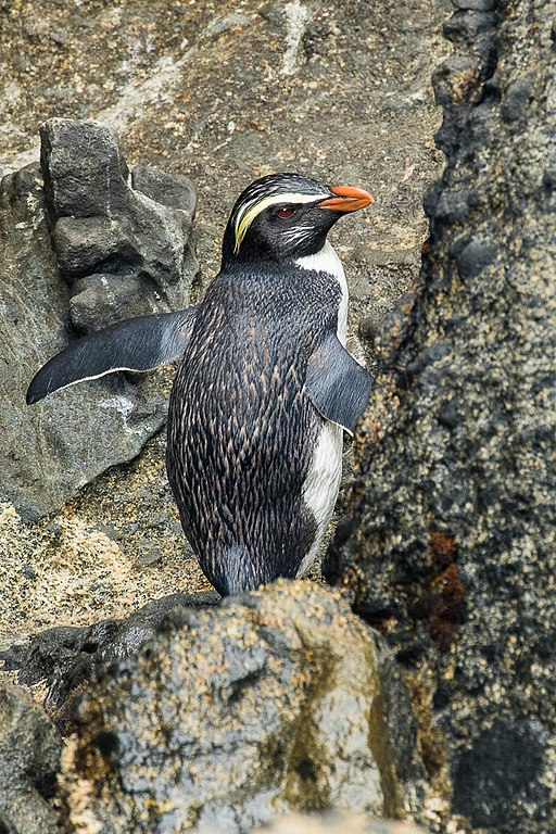 Fiordland Crested Penguin - Stewart Island - New Zealand (38188607005)