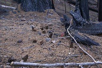 Jack pine cones and morels after fire in a boreal forest. Fire Morels.jpg