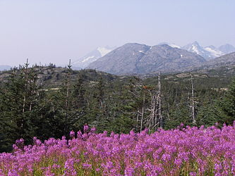 Fireweed on the Klondike Highway, British Columbia 8.jpg