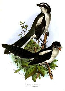 São Tomé fiscal species of bird