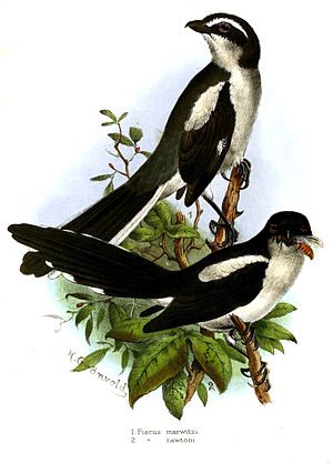 São Tomé fiscal - Illustration (lower bird) with Lanius marwitzi (above)