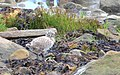 Fiskmås Common Gull (14982983292).jpg