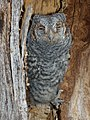 Flammulated owl (5416807574).jpg