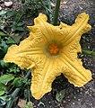 Fleur de potiron musquée de Provence.jpg