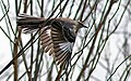 Flight of the Mockingbird (Mimus polyglottos).jpg