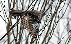 Flight of the Mockingbird (Mimus polyglottos).jpg
