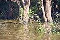 Flooded trees in Kampong Phlouk (5).jpg