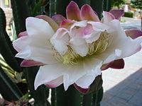 Flor de cactus.JPG