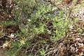 Flora della Sardegna 161 (1).JPG