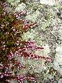 Flora of Lundy (4).jpg