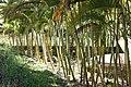 Flora of Sihanoukville - Bamboo.jpg