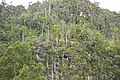 Flore Les Mogotes et ses palmiers royaux.jpg