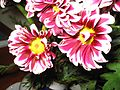 Flores.pav.jpg