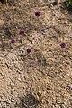 Flowers of Cyprus (43675156302).jpg