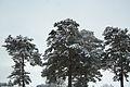 Forest near Ob river in Altai Region 50.JPG