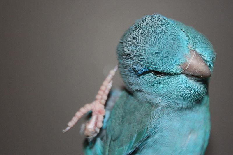 File:Forpus coelestis (blue).jpg