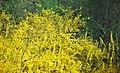 Forsythia sp. (Newark, Ohio, USA) 2 (49083125326).jpg