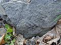 Fossile du terril de Carling.jpg
