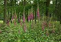 Foxgloves beside track - geograph.org.uk - 461781.jpg