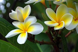 <i>Plumeria</i> species of flowering plant