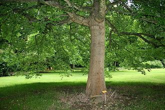 Fraxinus latifolia - A mature tree at the National Botanic Garden of Belgium