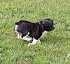 French Bulldog pup in high gear.jpg