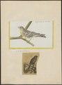 Fringilla serinus - 1700-1880 - Print - Iconographia Zoologica - Special Collections University of Amsterdam - UBA01 IZ16000053.tif