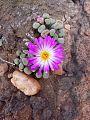 Frithia pulchra00.jpg