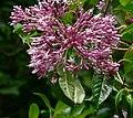 Fuchsia paniculata 5.jpg