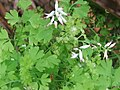 Fumaria capreolata L. (AM AK300058).jpg