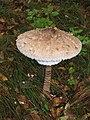 Funghi,Lepiota Procera - panoramio.jpg
