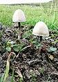 Fungi, Canna - geograph.org.uk - 902447.jpg
