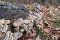 Fungus in the woods (23636215553).jpg