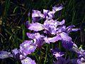 G20080424-0471--Iris douglasiana--RPBG-1 (8648684554).jpg