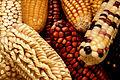 GEM corn.jpg
