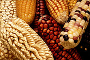 Exotic varieties of maize are collected to add genetic diversity when selectively breeding new domestic strains.