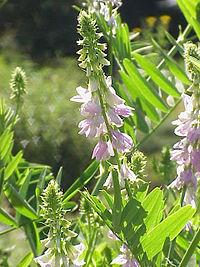 Galegaofficinalis03