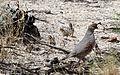 Gambel's quail - Flickr - GregTheBusker.jpg